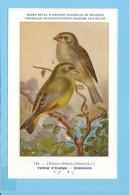KBIN / IRSNB - Vogels / Oiseaux - 1943 - 134 - Chloris Chloris, Verdier D´Europe, Groenvink, Greenfinch - Oiseaux