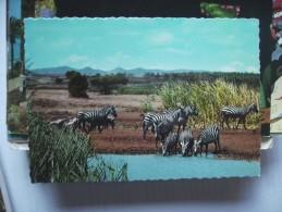 Kenia Kenya Nature Zebra - Kenia