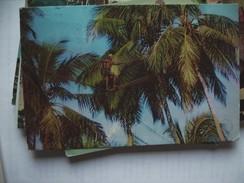 Asia  Sri Lanka Ceylon Palm Trees Toddy Tapper - Sri Lanka (Ceylon)