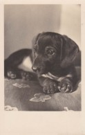 CHIEN / DOG : TECKEL / BASSET - CARTE VRAIE PHOTO ANCIENNE / OLD REAL PHOTO POSTCARD - ANNÉE / YEAR ~ 1930 - '35 (v-098) - Cani
