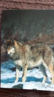 CPM LOUP COMMUN DANS LA NEIGE WOLF CANIS LUPUS MYTHRA - Animaux & Faune