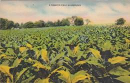 Tobacco Field In Kentucky 1953 - Tabaco