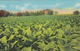 Tobacco Field In Old Kentucky Curteich - Tabaco