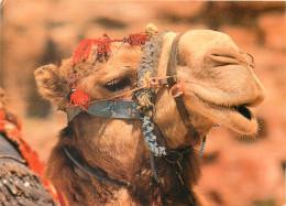 Bedouin Camel, Jordan Postcard Unposted