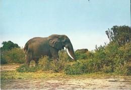 Elephant  éléphant Elefant - Congo / Parc National Albert - Éléphants
