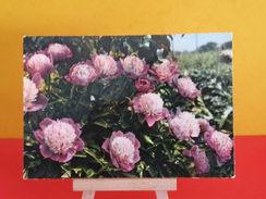 France > Thèmes > Fleurs, Plantes & Arbres > Fleurs > Les Pivoines - Non Circulé - Fleurs