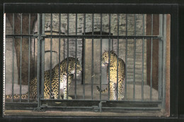 CPA London, Leoparden Im Zoo - Tigers