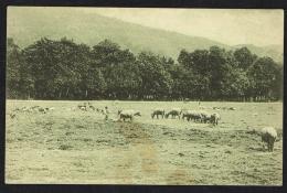TIMOR PORTUGUÊS - Um Campo De Pastagem - Timor Oriental