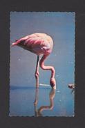 ANIMAUX - ANIMALS - OISEAUX - BIRDS - FLAMANT ROSE - FLAMINGOS - ÉDITION LA SOCIÉTÉ ZOOLOGIQUE DE QUÉBEC PHOTO J.C.CARON - Oiseaux