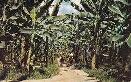 PANAMA---puerto Armuelles-prov. De Chiriqui--banana Plantation-- Voir 2 Scans - Panama