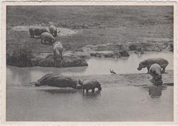 Grote Kaart Hippopotames Et Oies D'Egypte Parc National Albert Belgisch Congo Belge Hippo Virunga Park Africa Afrique - Belgian Congo - Other