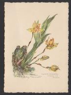 DF / PLANTES / ORCHIDÉES / LYCASTE AROMATICA / DESSIN - Flowers