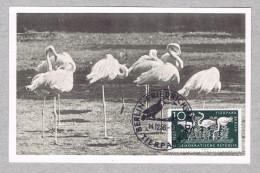 Oiseaux Birds Flammants Roses Frnicotteri  Wildlife Animals Faune Animaux Maximum Cards 1956 DDR Tierpark Berlin Zoo 606 - Flamingo