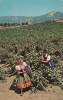 Italian Swiss Colony Vineyard Scene At Asti Sonoma County California - Cultivation