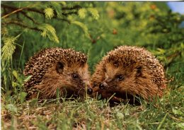 Engadin Press Postcard, Erinaceus Europaeus L, Igel, Herisson, Hedgehog - Other