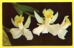 COSTA RICA - C. Wienthia , Flower , Collection Orquideas  Jorge Barrot. - Orchidees  Photo Eugenio Vargas - Costa Rica