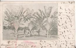 Jamaique The Travellers Palm - Cartes Postales