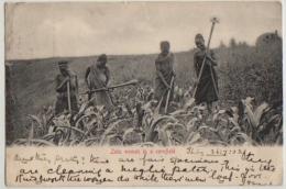 ZULU WOMEN WORKING IN CORNFIELD, 1903 - Südafrika