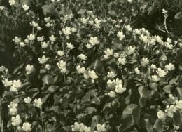 France Etude Photographique Fleurs Nature Ancienne Photo Knecht 1930 - Photographs