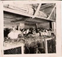 Photo Allemande  De Lot Réchicourt : Lapins Dans Clapier 1916 - 1914-18