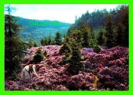HEATHER, SCOTLAND - MOUNTAIN SLOPES OF THE HIGHLANDS - DRG J. ARTHUR DIXON No PSO/83690 - - Ecosse