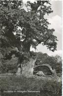 AK 0536  Urwaldriese Im Schutzgebiet Reinhardswald - Foto Fritz Um 1960 - Bäume