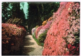 R3456 Lago Di Como - Tremezzo - Le Azalee Di Villa Carlotta - Fiori Fleurs Flowers / Viaggiata 1960
