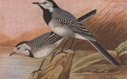 """CPA ANIMAL La Bergeronnette Grise Reproduction De Dessins """"Les Oiseaux De France"""" - Birds"""