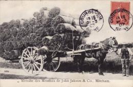Mitcham - Récolte Des Menthes De John Jackson & Co - London Suburbs