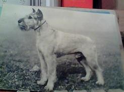 CANE DOG  CAMPIONE BILLY VON MIRAKO Pinscher Schnauzer VB1964 FR6787 - Hunde