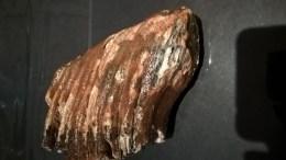 Dent De Mammouth Adulte Fossilisée - Fossiles