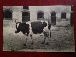 78 GRIGNON Ecole Nationale D'agriculture Vache Race Bretonne - Grignon
