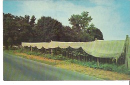 Famous Shade-grown Tobacco Grown In The Connecticut River Valley. Tented Fields On Route 5 Glue On Back - Cultivation