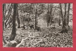 Nassogne ... Son Parc à Gibiers ... Sangliers - 1975 ( Voir Verso ) - Nassogne