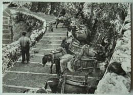 Santorin. - Descente Vers Le Port. - Chevaux. - 1958. - Grèce