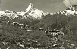 Zermatt (Valais, Svizzera) Tufternalp, Au Fond Le Matterhorn, Mucche Al Pascolo, Vaches Au Paturage, Grazing Cows - VS Valais