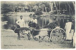 Cpa Ceylon / Ceylan / Sri Lanka - Racing Hackeries ( Attelage )   ((S.822)) - Sri Lanka (Ceylon)