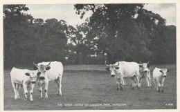 Hamilton - The White Cattle Of Cadzow Park - J. B. White. N° A 6408 - Lanarkshire / Glasgow