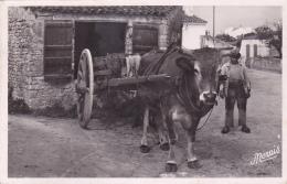Cpa-17- Ile D'oleron -curieux Attelage (vache, Boeuf)-edi Nozais N°32 - Ile D'Oléron