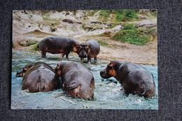HIPPOPOTAMES - Hippopotames