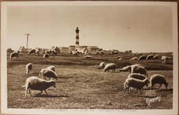 Île D'ouessant.pâturage De Moutons De Près Salés - Ouessant