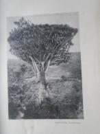 D143011.82  AFK - Espana Islas Canarias  Tenerife -Drago -Dragon Palm    -   Old Print Ca 1900  Hungarian Travel Book - Estampes & Gravures