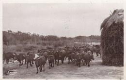 CAMARGUE/MANADE NOU DE LA HOUPLIERE (dil290) - Toros