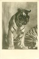 Tigre    AQ  151 - Tigers
