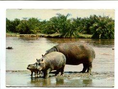 Cp  - Animaux D'Afrique - Les Hippopotames - Hippopotames