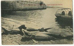 Tiburones De La Costa De Cuba Sharks Hooked Near Havana Requins - Fish & Shellfish