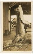 Real Photo Tiburon Shark Requin - Fish & Shellfish