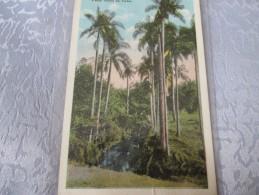 CUBA.  STRATELY ROYAL PALM TREES IN CUBA - Sonstige