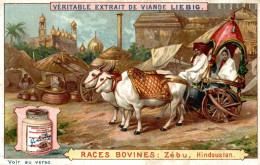 LIEBIG CHROMOS Races Bovines  Zebu Hindoustan - Liebig