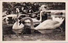 Australia Sydney White Swans In Taronga Park Real Photo - Sydney